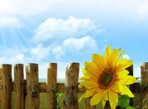 sunflower-13171331667vI